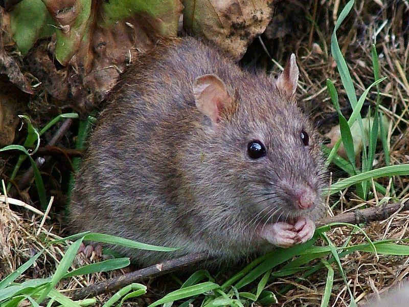 Как избавиться от запаха дохлой мыши в доме?